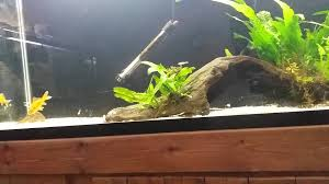 Asian needle nose gar