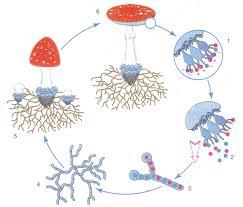 Оплодотворение у грибов кратко Биология Реферат доклад  Таким образом происходит оплодотворение в жизненном цикле шляпочных грибов 1 созревание спор 2 выход спор 3 слияние двух короткоживущих гаплоидных
