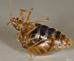 Bed Bugs In Bathroom Classy How To Get Rid Of Bed Bugs