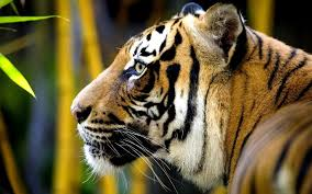 tiger face side. Unique Face Image Result For Side Tiger Face Inside Tiger Face Side Y