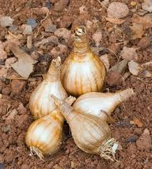 How To Plant Bulbs  Gardening Advice.net