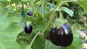 how to grow eggplants in containers the complete guide to growing eggplants you