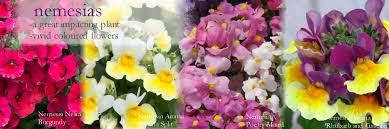 colourful nemesia plug plants produce stunning bedding plants new varieties include the scented nemesia aroma rhubarb and custard and the very popular