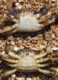 Crab Species Chart Crab Wikipedia