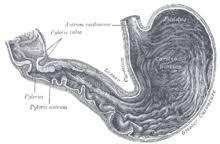 Желудок человека Википедия Желудок человека иллюстрация из книги Анатомия человеческого тела Грея