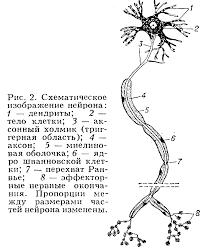 Контрольная работа по анатомии Нейрон структурно  Н ейрон от греч neuron нерв неврон нервная клетка основная функциональная и структурная единица нервной системы принимает сигналы поступающие от