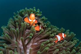 The Difference Between True And False Percula Clownfish