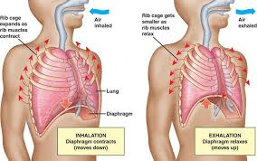 The rib cage is the arrangement of ribs attached to the vertebral column and sternum in the thorax of most. Are You A Belly Or Chest Breather