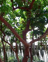 Image result for Pacific madrone how to prune
