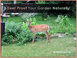 deer proof your garden and yard naturally how to keep