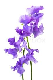 beautiful purple and white flowers. Simple Purple On Beautiful Purple And White Flowers O