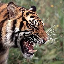 tiger face side.  Face Inside Tiger Face Side