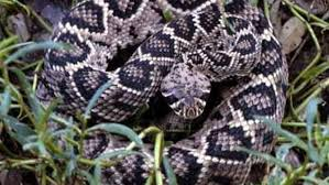 Snake Identification Chart Snakes In Georgia 6 Venomous Snakes To Avoid In Georgia