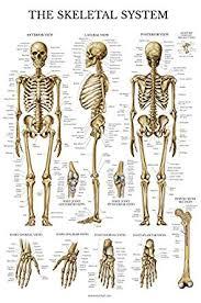 Skeletal System Anatomical Chart Laminated Human Skeleton Poster