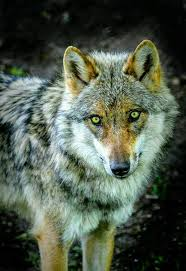Save the Wolves | Wolf eyes, Wolf dog, Wolf pictures