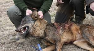 Resultado de imagen de caza de lobos