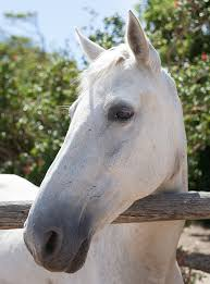 white horse head. Interesting Horse Portrait Of A White Horse Head Face Profile On White Horse Head R