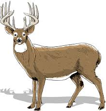 Whitetail Deer Size Chart How To Age Bucks Realtree Camo