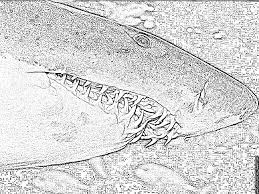Dessin Colorier De Requin Tigre