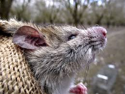 it is important for food safety reasons to manage rats in school and community gardens rats and other wildlife can carry a number of diseases that can be