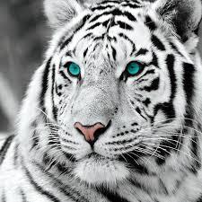 Skleněný Obraz Bílý Tygr Modré Oči