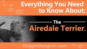 Airedale Weight Chart The Airedale Terrier A Complete Guide Doggie Designer