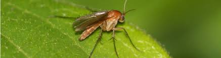 Gnat Identification Chart How To Identify And Manage Fungus Gnats Newpro Blog