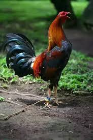 What Is The Best Breed Of Rooster To Use For Fighting Quora