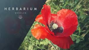 Papaver rhoeas - (Red poppy) - YouTube