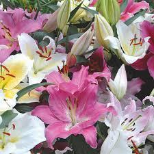 oriental lilium mix the perfumed garden