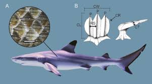 new shark dermal denticle paper published erin m dillon dermal denticles are the small tooth like scales that cover the skin of sharks and rays in this paper aaron o dea dick norris and i introduce a
