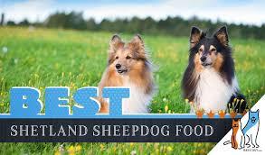 6 Best Shetland Sheepdog Sheltie Dog Food In 2019