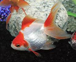 Fantail Goldfish Growth Chart Ryukin Goldfish Fancy Goldfish Care Information And Pictures