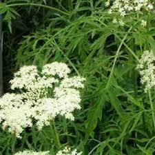 Полезные лекарственные растения фото названия и описание какие  Ошибочно считать что полезные лекарственные растения встречаются исключительно в дикой природе Конечно преимущественно их собирают в лесах и на лугах