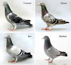 feather patterns variations of a single gene drive diverse pigeon feather patterns