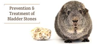 Guinea Pig Urine Chart Bladder Stones In Guinea Pigs Can Happen Small Pet Select