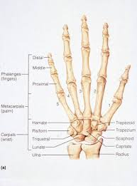 Bone Age Wrist Chart Bones Of The Human Hand My Poor Right 3rd Distal Phalange