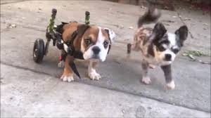 walkin wheels small dog wheelchair