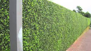 Magnificent Large Evergreen Shrubs For Privacy Magnificent Privacy Hedges  Shipped To All States, No License