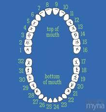 How Do Dentists Number Teeth Myria