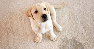 clean pet hair stains and urine