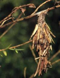 Bagworms In Ornamental Landscapes Nc State Extension Publications
