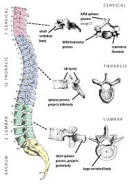 Vertebrae Number Chart The Different Types Of Vertebrae John Hawks Weblog