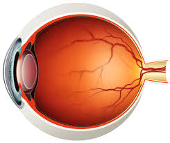 Order In Which Light Passes Through The Eye Quizlet Eye Dissection Vocabulary Diagram Quizlet
