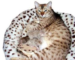 Cat Colors And Patterns New Bengal Cats Color Genetics Of Cats Dilute And Solid Color Genetics