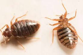 Types Of Bed Bugs Pestbugs
