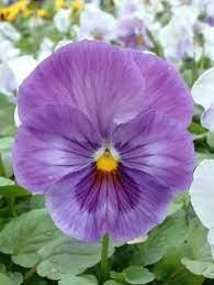 Lavender Shades | Pansies flowers, Pansies, Flower wallpaper
