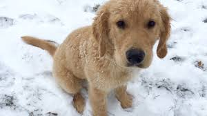 golden retriever puppies playing in snow. Delighful Snow Sammieu0027s First Time Playing In Snow Golden Retriever Puppy  Playground  Fun Vlog Inside Puppies In Snow