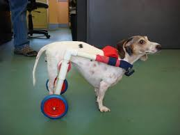 dog wheelchairs for dogs with intervertebral disk disease ed s wheels for pets the pet mobility experts