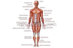 Human Being Anatomy Muscles Anterior View Image